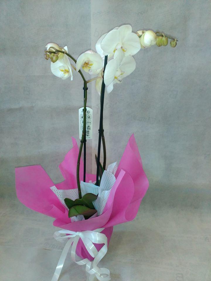 Орхидея Феланопсис