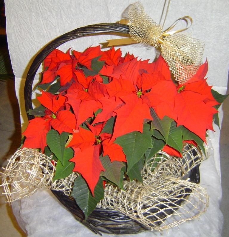 Коледна звезда – блестящата украса за Коледните празници!!!