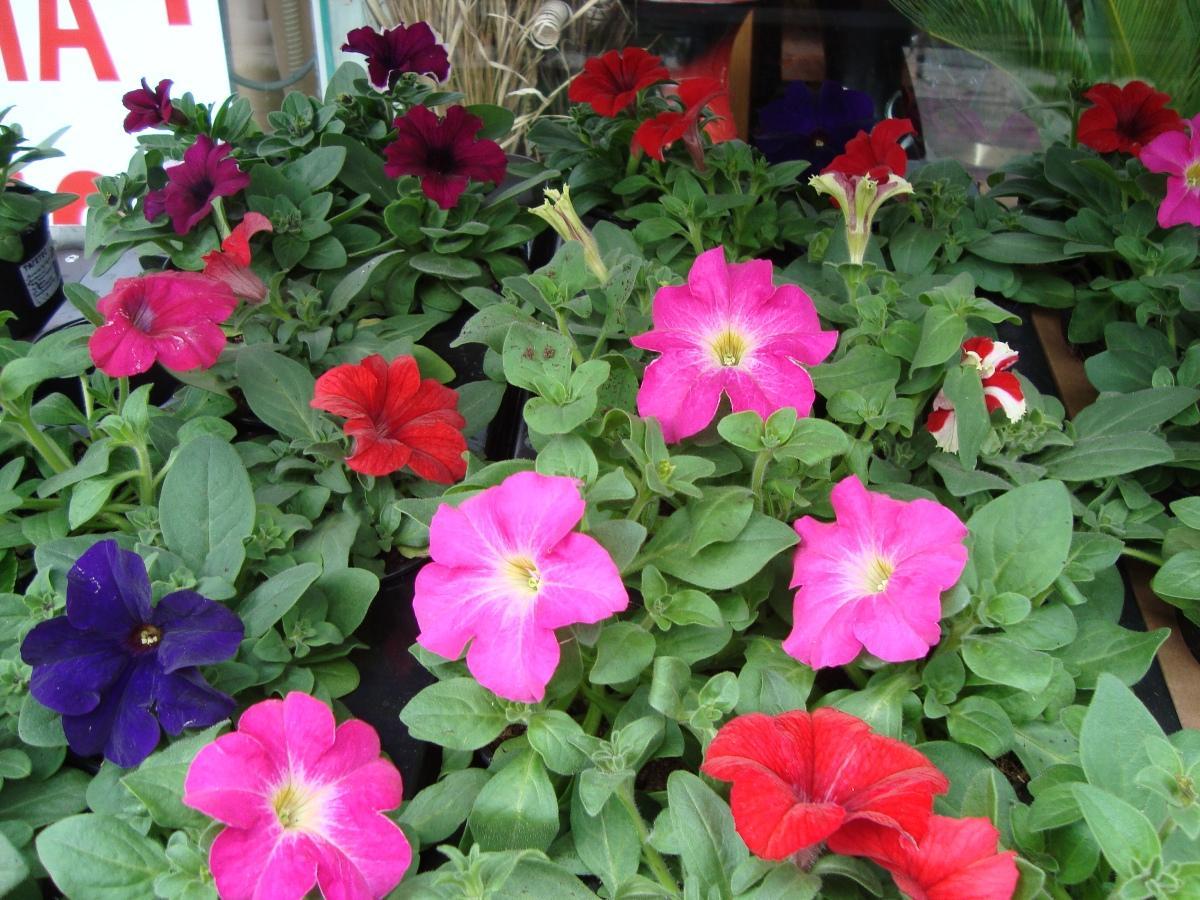 Пролетните разсади – евтини, красиви и цветни